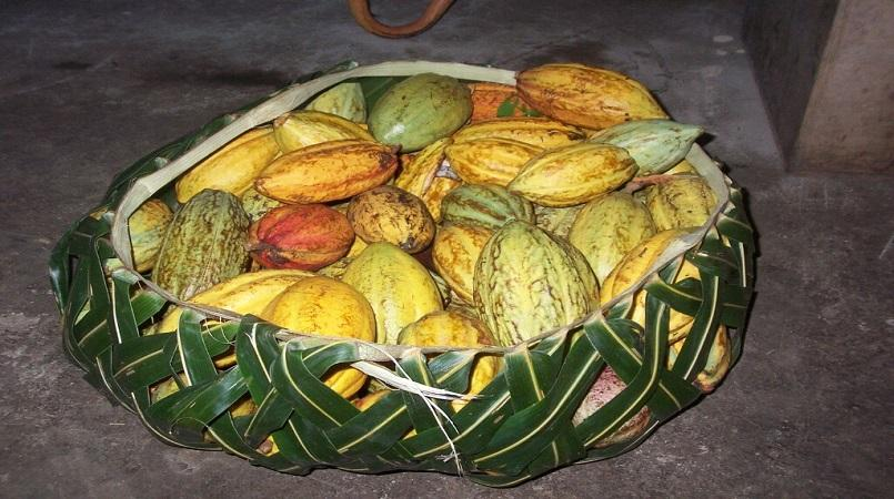 Cocoa another trending export produce for Samoa  Loop Samoa