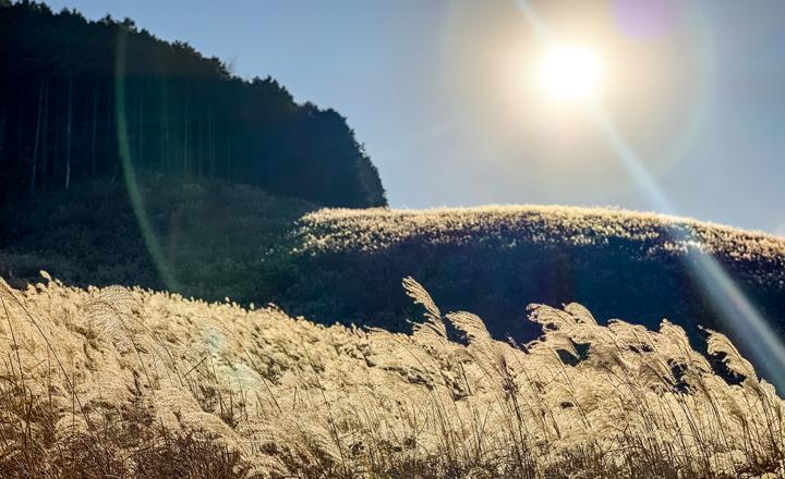 箱根、仙石原のすすき