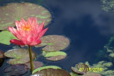 97 IndyZooWaterlily4