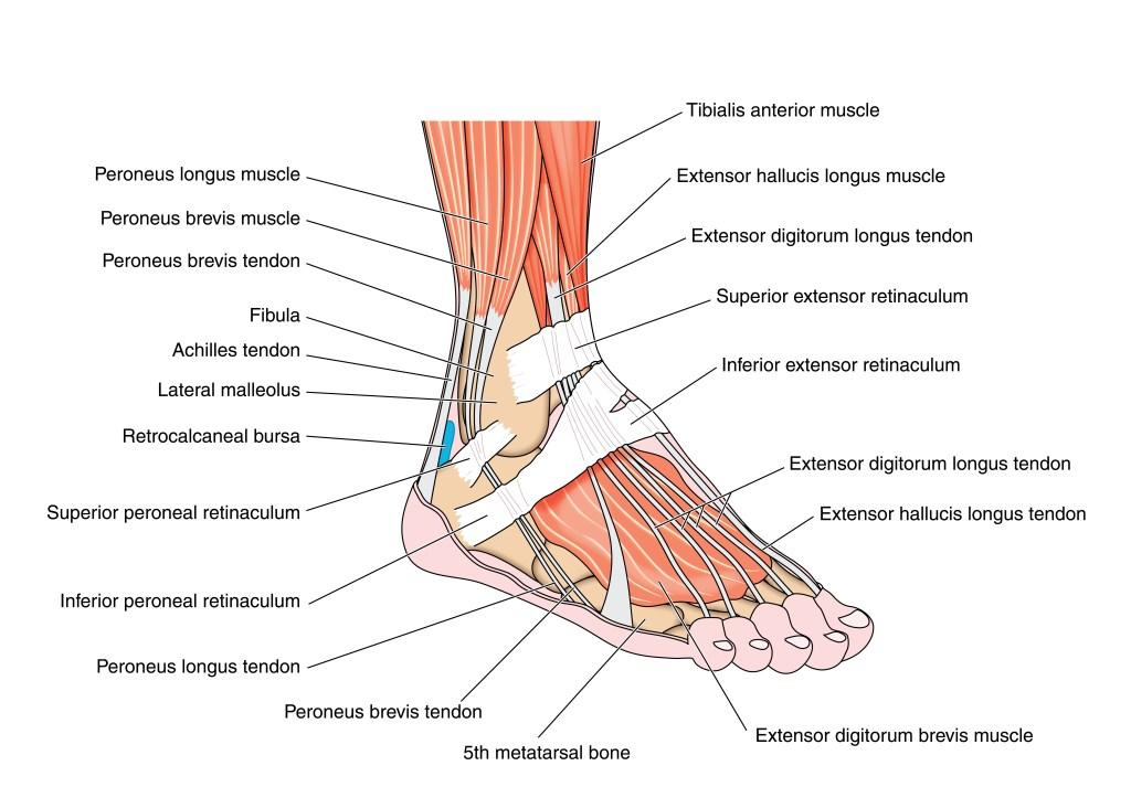 De voeten dragen je hele lichaam en zijn erg complex. Sterke voeten zijn daarom de basis van een sterk lichaam.