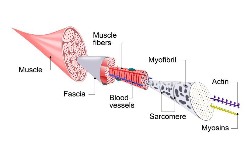 Hoe werken de spieren? En kunnen hardlopers ook gespierd worden?