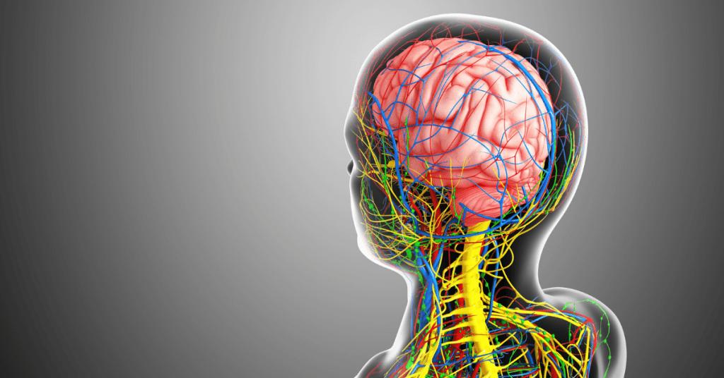 Ons Zenuwstelsel bestaat uit het Perifere en Centrale Zenuwstelsel