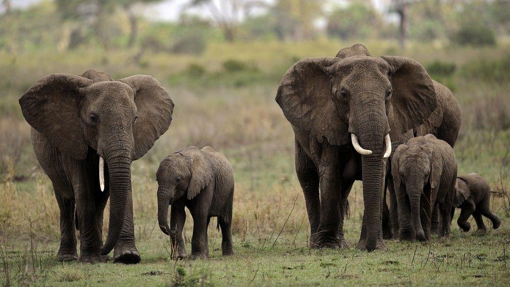 Se registran 100 mil elefantes muertos en África - Internet