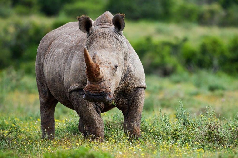 Más de mil rinocerontes en Sudáfrica han muerto por caza ilegal - Internet