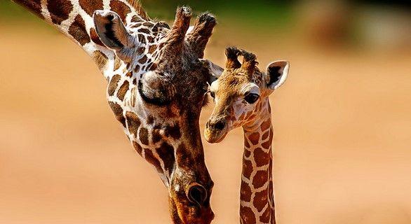 Las jirafas están en peligro de extinción - Foto de Internet