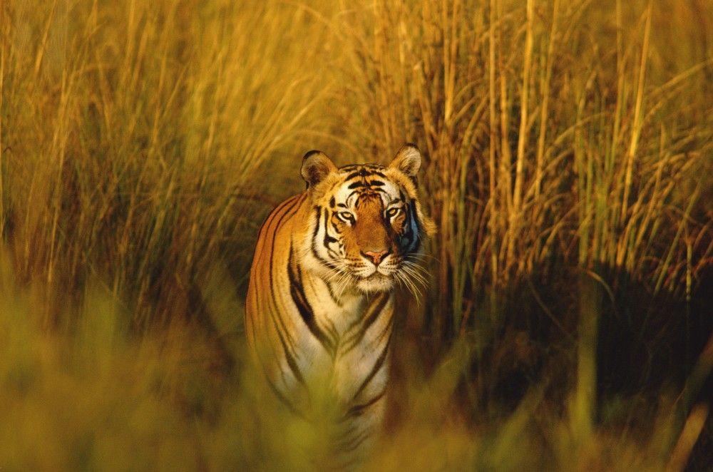 Los animales que podrían extinguirse en 2015 - tigre