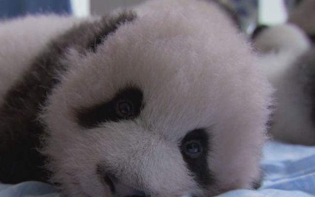 Video de pandas bebés en cautiverio - Panda bebé