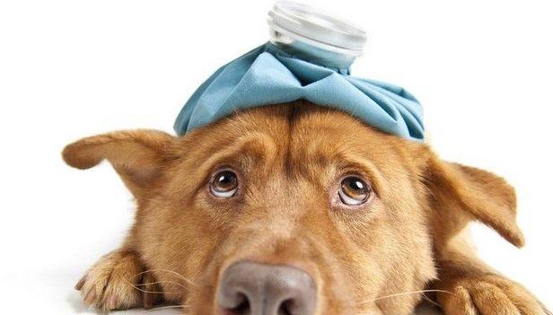 Registran caso de gripe aviar en perro - Perro enfermo