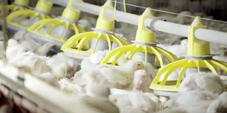 McDonald's corta relaciones comerciales con granja acusada de crueldad - Granja de pollos para KFC.