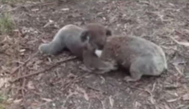 Koalas luchan en parque de Australia - lucha de koalas