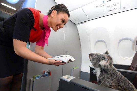 Resultado de imagen para koala avion