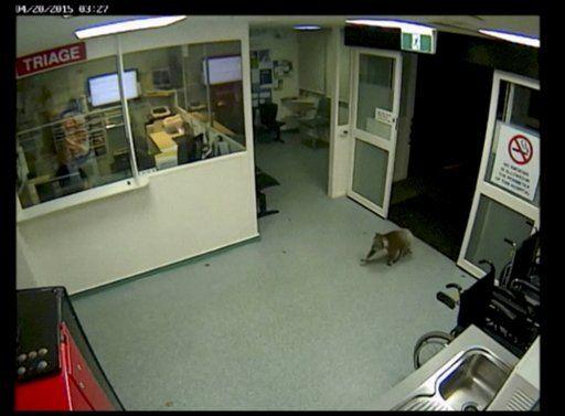 Koala se cuela a hospital - Koala se cuela a hospital