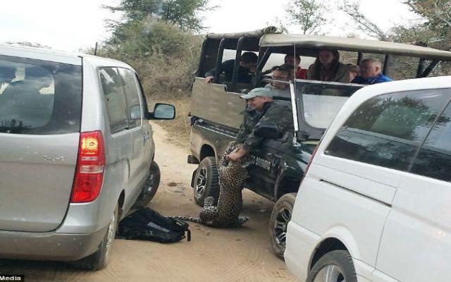 Video: leopardo ataca a guía de safari - Foto de Daily Mail Online