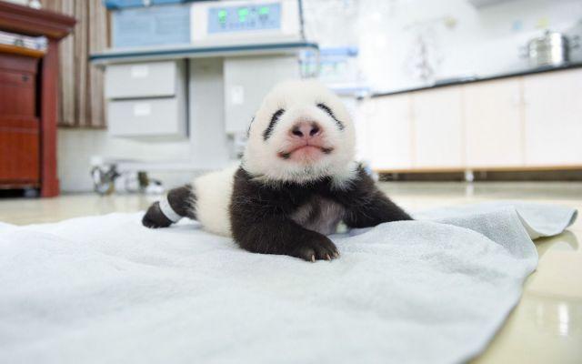 ¿Por qué están desapareciendo las manchas de los ojos de los pandas? - Foto de Corbis