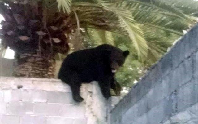 Encuentran oso dormido en casa de Monterrey - Foto de El Norte