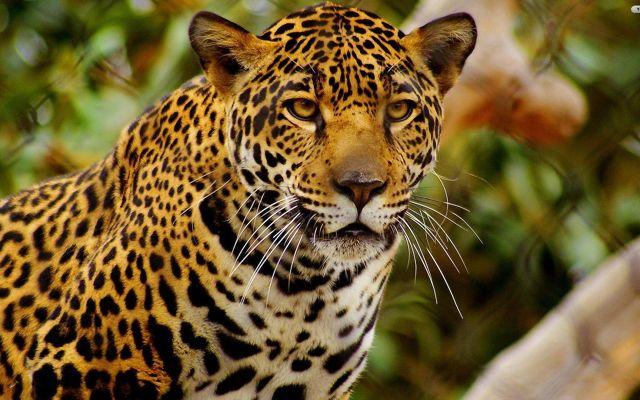 Jaguar está en mayor peligro de extinción a lo previsto: UNAM