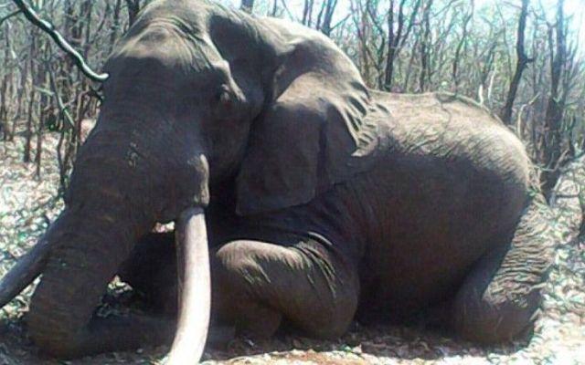 Cazan a elefante con colmillos de 55 kilos