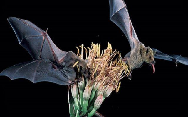 Los beneficios de los murciélagos para la naturaleza