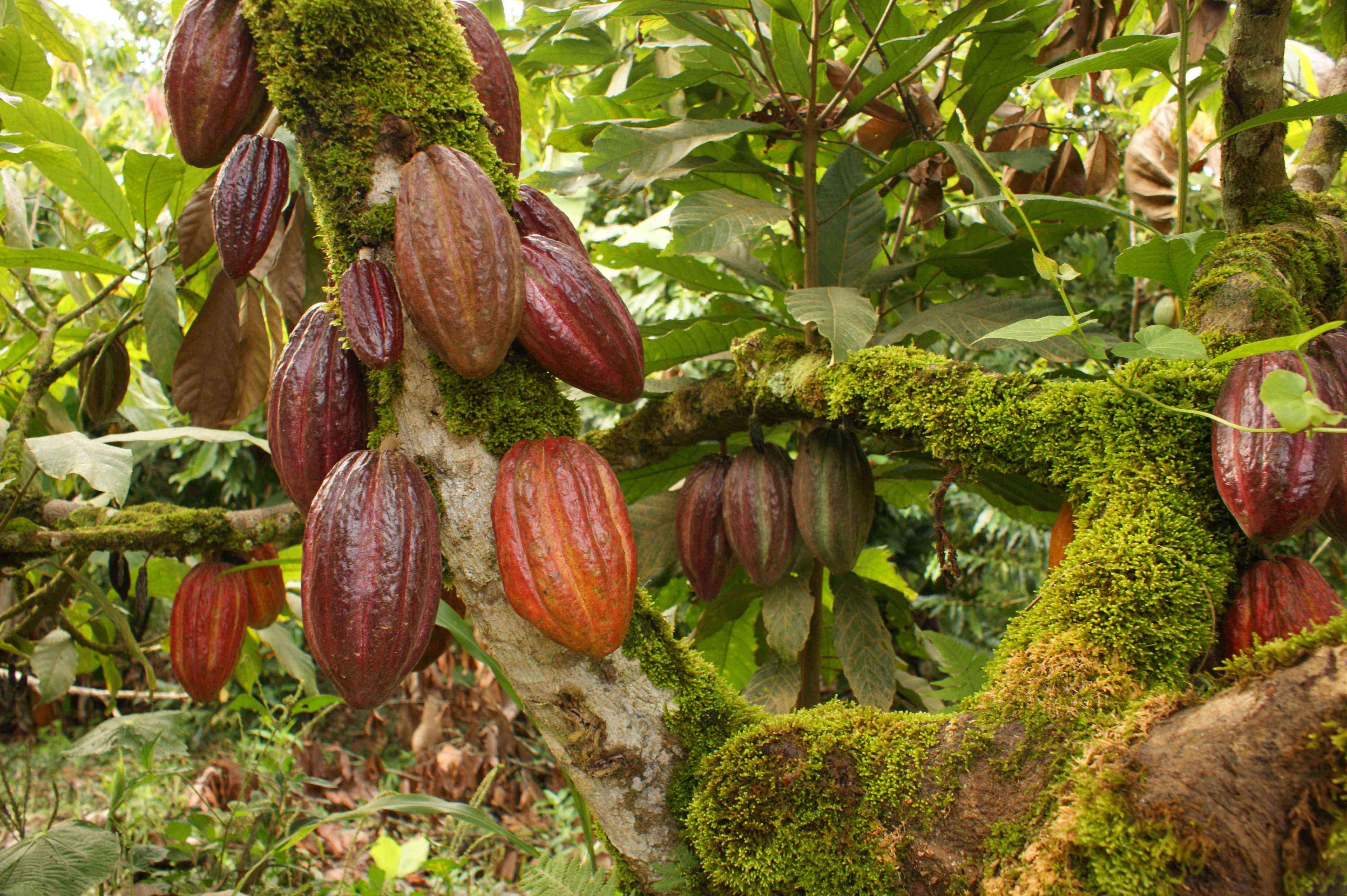 Foto de Red Madre Cacao