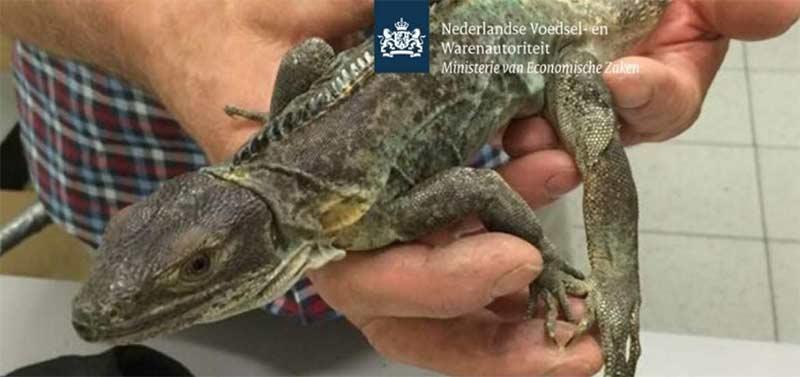 Tres detenidos en aeropuerto de Holanda con 259 reptiles mexicanos