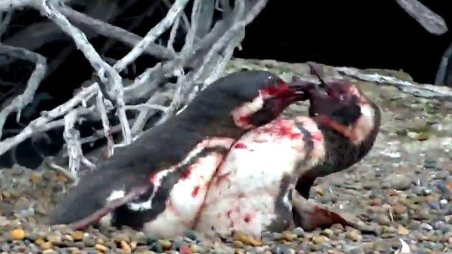 Video: pingüinos pelean tras encontrar a su pareja con otro