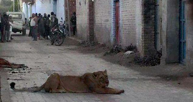 Video: leona causa terror en villa de India