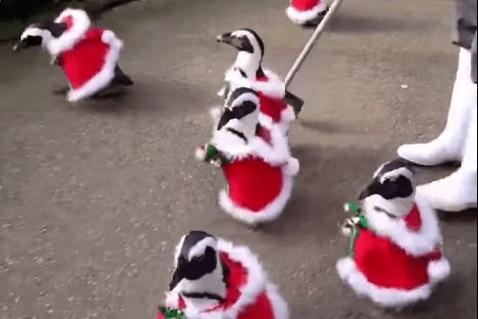 Video: disfrazan a pingüinos de Santa Claus en Japón