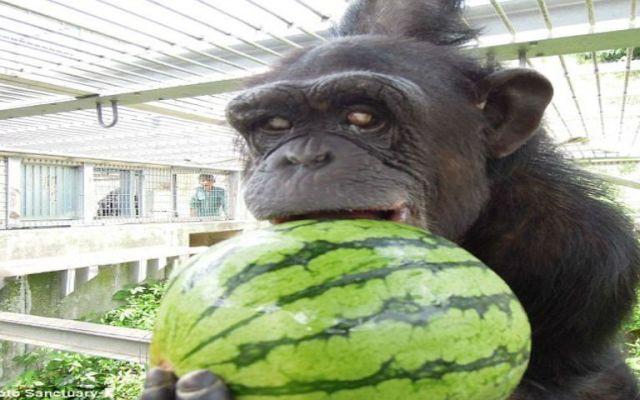 La chimpancé con síndrome de Down - Foto de Santuario Kumamoto