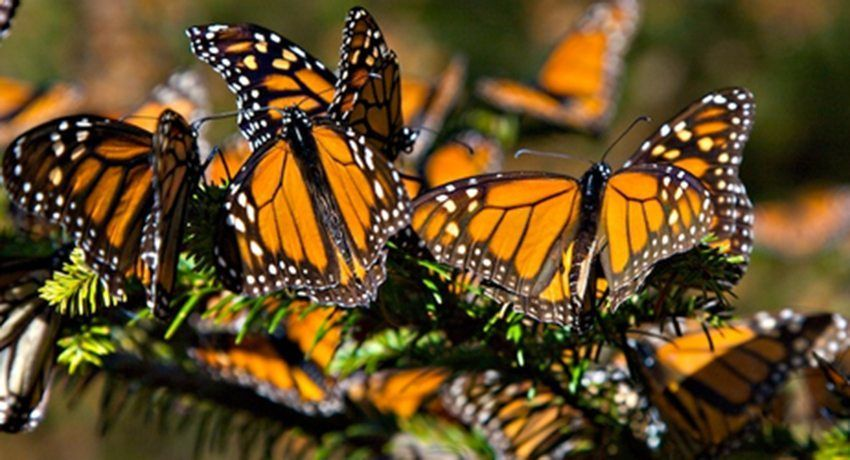Canadá advierte que mariposa monarca está en peligro de extinción