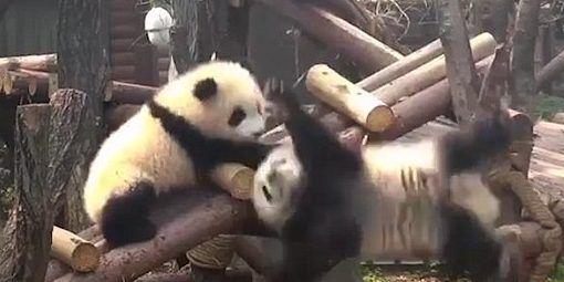 #Viral Bebé panda tira a su hermana desde escalera de troncos