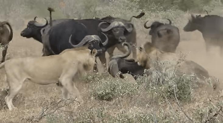 #Viral Búfalos defienden a otro mientras leones atacaban