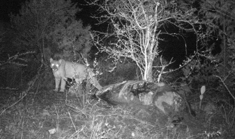Descubren presencia de pumas en Hidalgo - Foto de internet