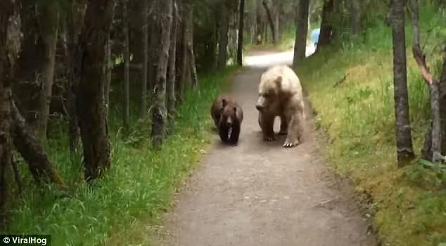 #Viral Familia de osos persigue a sujeto en parque de Alaska - Foto de Viral Hog