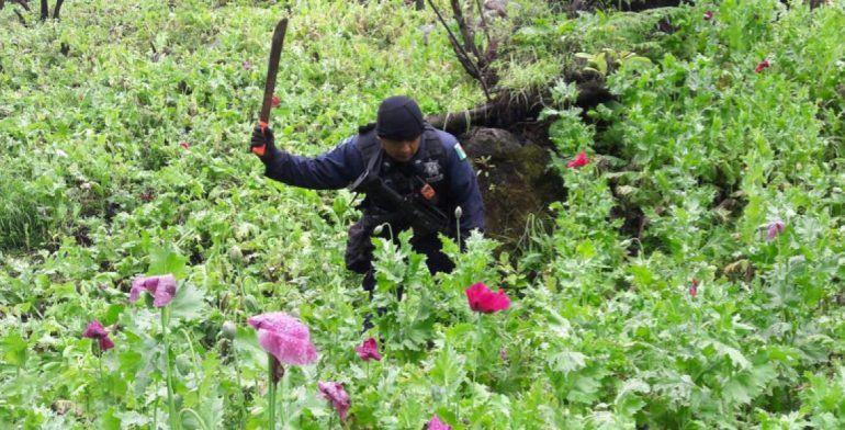 PF destruye más de 33 millones de plantas de amapola en Guerrero - Foto de Policía Federal