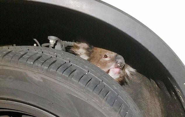 #Video Koala sobrevive a quedar atrapado en eje de auto en movimiento - Foto de Daily Mail