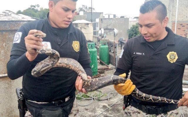 Rescatan serpiente de metro y medio en la Narvarte - Foto de @SSP_CDMX