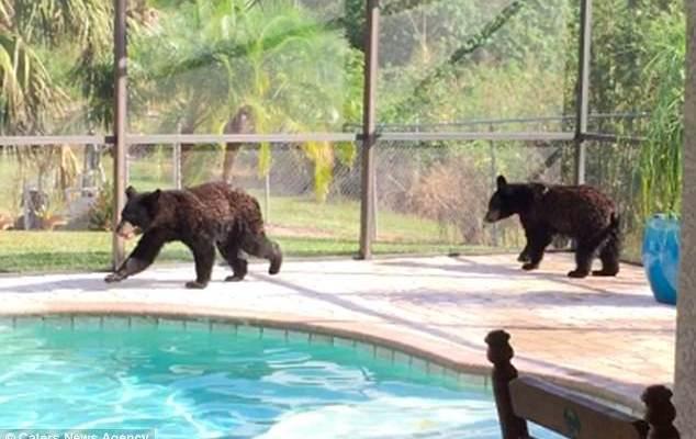 #Viral Oseznos juegan en alberca de Florida - Foto de Caters News Agency