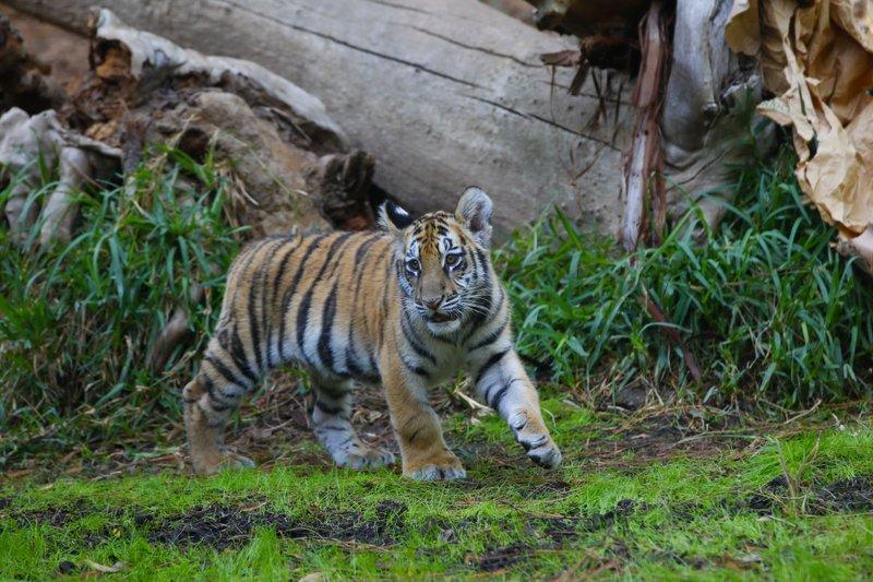 Detienen a joven por ingresar a EE.UU. con tigre desde México - Foto de AP