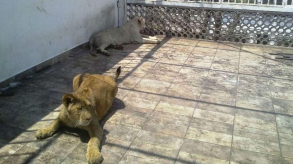 Aseguran leones y guacamayas en la Ciudad de México - Foto de Internet