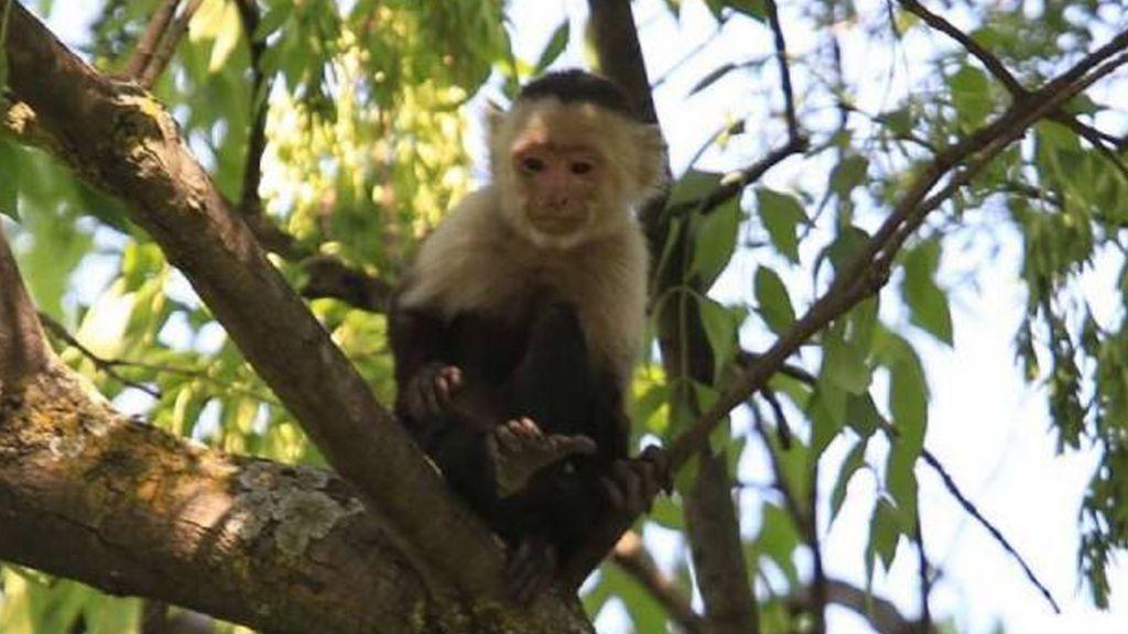Atrapar a mono capuchino es casi imposible: Brigada Animal - Foto de Internet