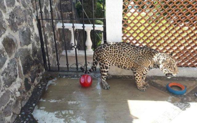 Aseguran a jaguar en domicilio particular de Cuernavaca - Foto de Profepa
