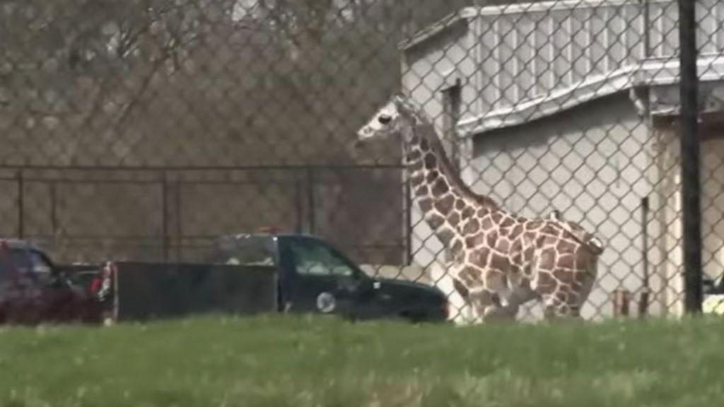 #VIDEO Jirafa escapa de zoológico - Captura de pantalla