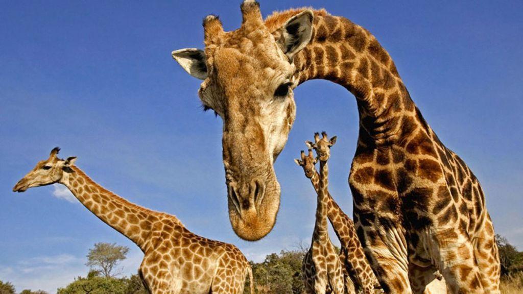 Añaden a las jirafas a lista de animales en peligro de extinción - Foto de internet