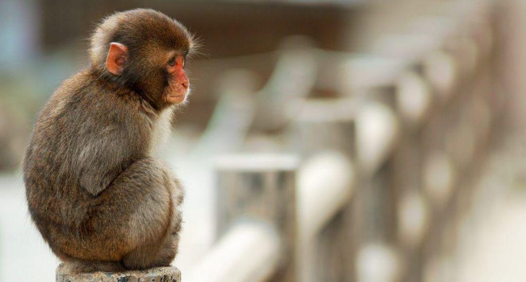 Encuentran en India cuerpo de bebé que fue raptado por un mono