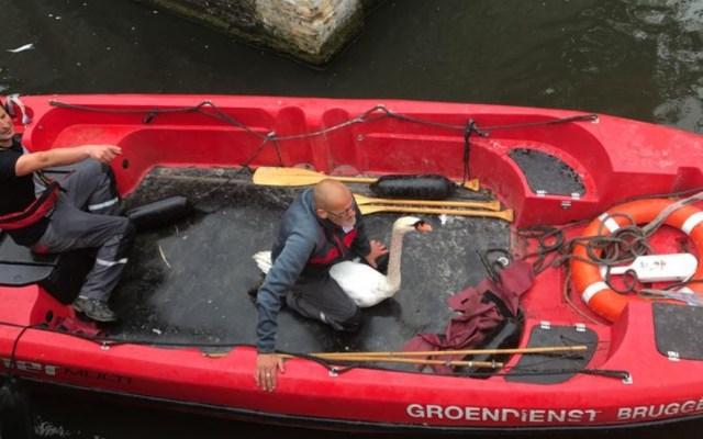 #Video Así rescataron a cisnes de un río contaminado en Bélgica - Foto de VTM