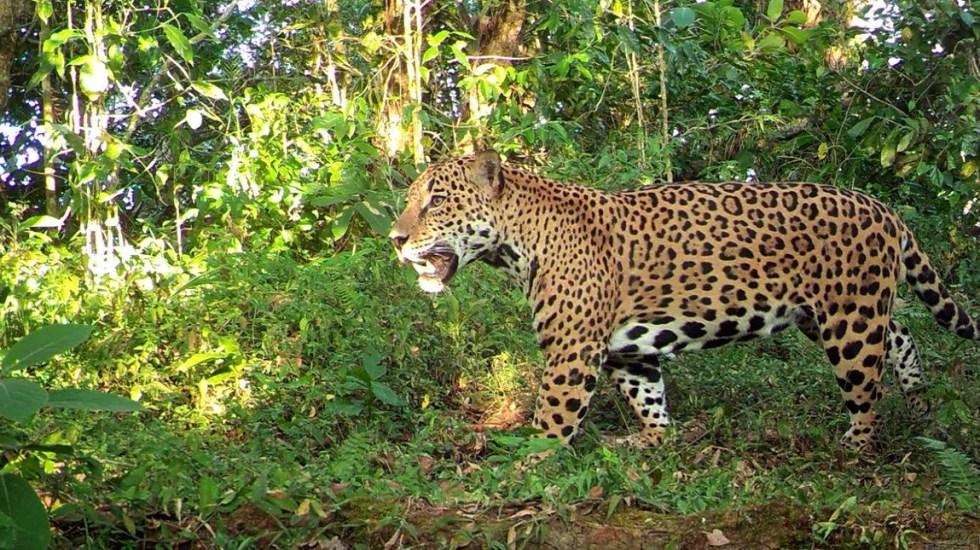 Crece población del jaguar en México - Foto de @CONANP_mx