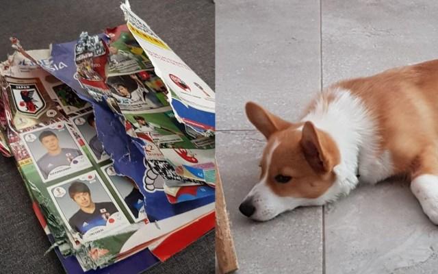 #Viral Panini dona álbum del Mundial a dueña de perro que lo destrozó - Foto de @CrisVales