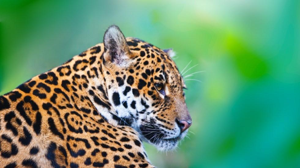 Se recupera 20 por ciento población de jaguar en México - Fuente de Salvemos a un Amigo
