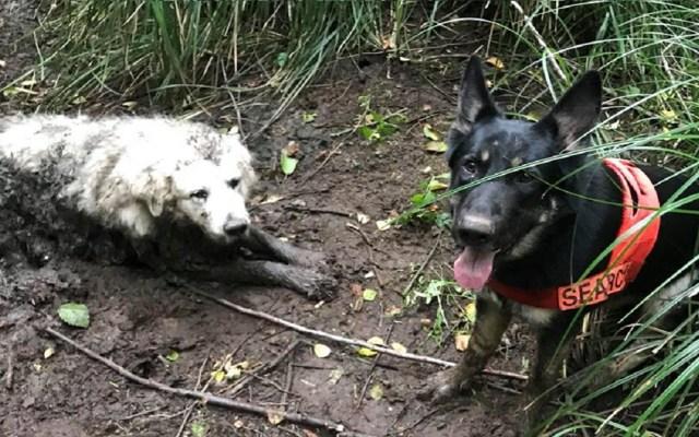 Cachorro rescata a perro de edad avanzada atrapado en fango - Foto de Three Retrievers Lost Pet Rescue