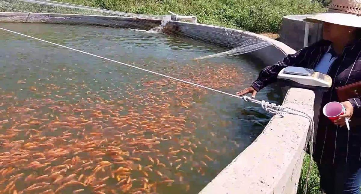 Detectan peces de consumo humano con virus en seis estados for Cria de peces para consumo humano